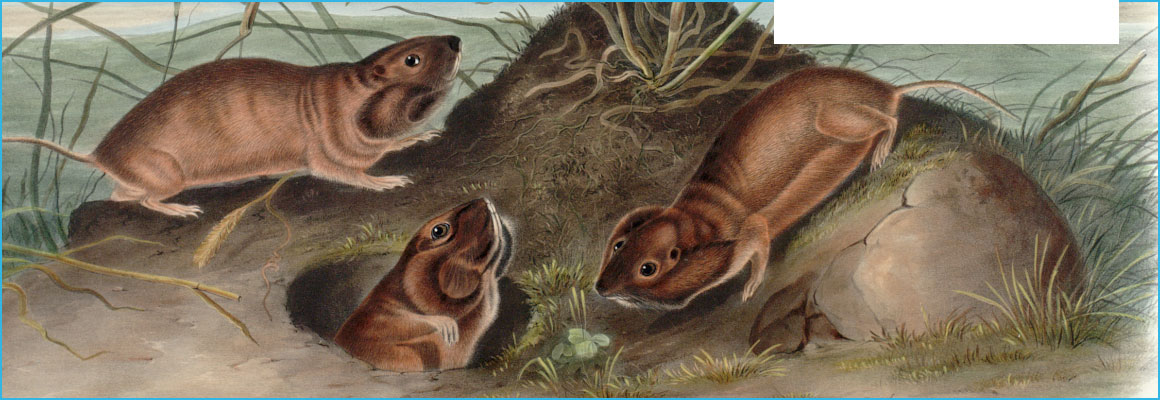 Clickable image of Geomys Douglassii, Richardson, entry to Learning Lab Collection