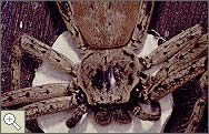 Large hunting spider